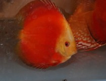 discus.red.melon